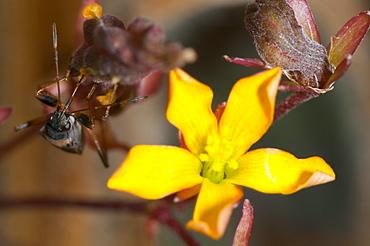 Groundbug, Rhyparochrominae, North West Bulgaria, EuropeFamily Lygaeidae