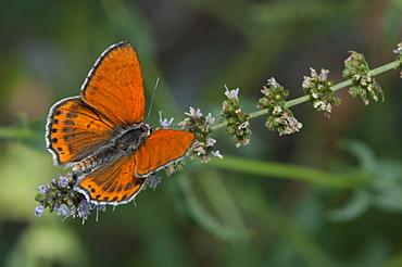 Hairstreak (Lycaenidae), North West Bulgaria, Europe - 1001-274