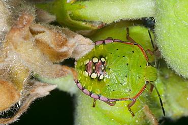 Shieldbug (Pentatomoidea), Bulgaria, Europe