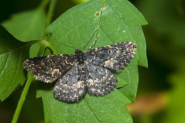 Moth (Geometridae), North West Bulgaria, EuropeFamily Geometridae