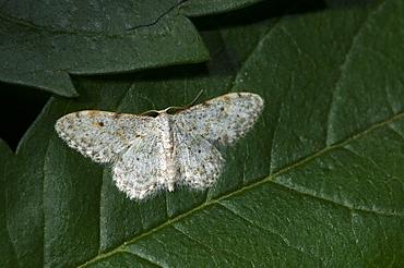 Small dusty wave moth (Idaea seriata), North West Bulgaria, EuropeFamily Geometridae