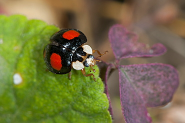 Ladybirds (Ladybug) (Coccinellidae) on violet leaf, North West Bulgaria, Europe