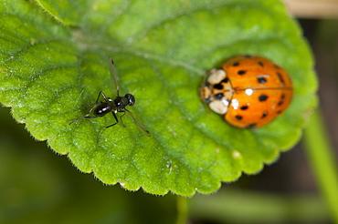 Fly (Diptera) (true flies) and ladybird (ladbybug) (Coccinellidae) on violet leaf, North West Bulgaria, Europe