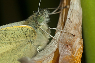 Butterfly, Lepidoptera, Pieridae Family,  North West Bulgaria, Bulgaria, Europe