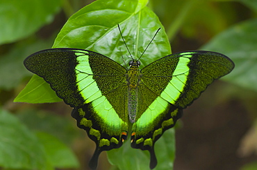 Green-barred swallowtail (Papilio palinurus) (Papilionidae), Grevenmacher Butterfly Garden, Luxembourg, Europe