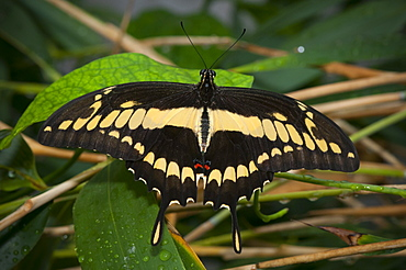 Giant swallowtail (Papilio cresphontes) (Papilionidae), Grevenmacher Butterfly Garden, Luxembourg, Europe