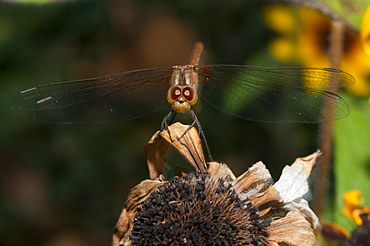 Dragonfly (Odonata), Bulgaria, Europe