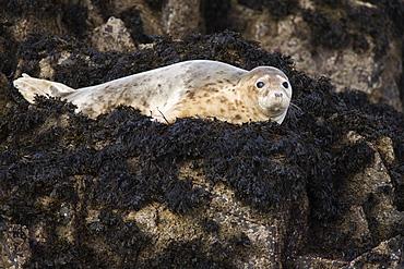 Grey seal (Halichoerus grypus). Farne Islands, Seahouses, Northumberland, UK
