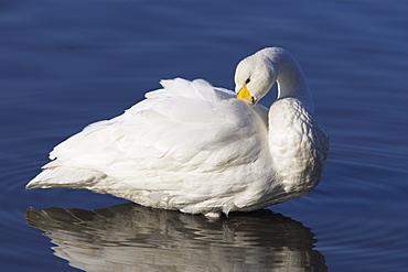 Whooper swan (Cygnus cygnus) preening feathers.  UK