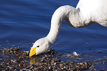 Whooper swan (Cygnus cygnus) feeding. UK