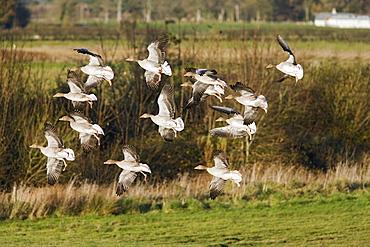 Greylag Geese (Anser anser) in flight. Caerlaverock Wildfowl and Wetlands reserve, Dumfries and Galloway, Scotland, UK