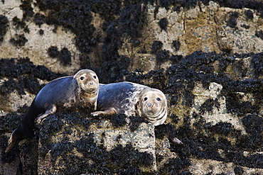 Grey seals (Halichoerus grypus). Farne Islands, Seahouses, Northumberland, UK