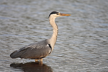 Grey heron (Ardea cinerea). UK