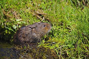 Water vole (Arvicola terrestris). Alston Moor, Cumbria, UK