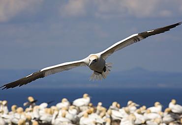 Gannet (Morus bassanus) flying. Bass Rock, Scotland
