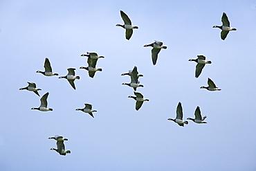Barnacle geese (Branta leucopsis) in flight. Caerlaverock Wildlife and Wetlands Trust reserve, Dumfries and Galloway, Scotland