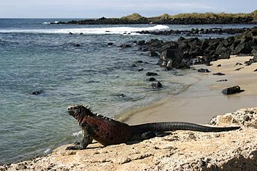 Marine iguana Floreana. Galapagos.   (RR)