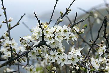 Blackthorn (Prunus spinosa). West coast, Sark, British Channel Islands, UK