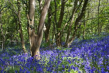 Bluebell (Hyacinthoides non-scripta). Dixcart Woods, Sark, British Channel Islands, UK