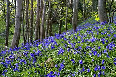 Bluebell (Hyacinthoides non-scripta). Sark British Channel Islands, UK