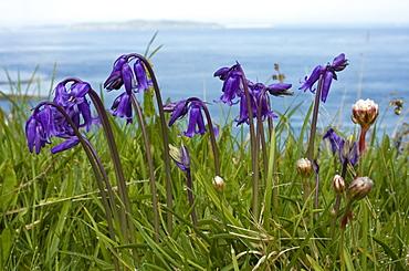 Bluebell (Hyacinthoides non-scripta). Gouliot Headland, Sark, British Channel Islands, UK