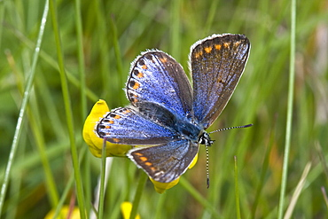 Common Blue Butterfly (Polyommatus icarus). Sark, British Channel Islands, UK - 1004-251