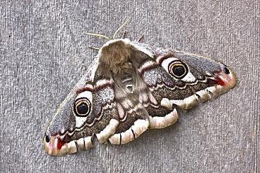 Emperor Moth female  (Saturnia pavonia). Sark, British Channel Islands, UK