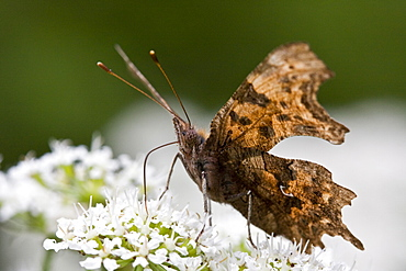 Comma Butterfly Polygonia c-album. Jersey, British Channel Islands - 1004-338