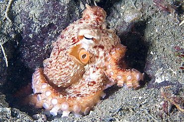 Giant Pacific Octopus Enteroctopus dofleini
