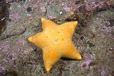 Slime Star Pteraster tesselatus
