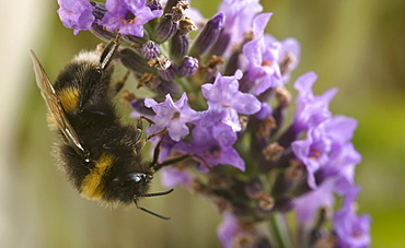 A Bumblebee (Bombus Terrestris) collects pollen and nectar from Lavender flowers, UK.