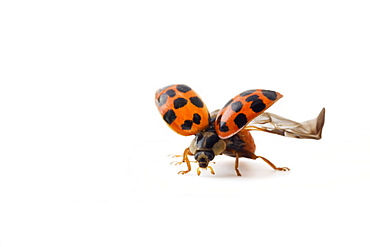 Studio shot of a Ladybird with its wings on display.