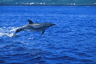 Atlantic Spotted Dolphin (Stenella frontalis) breaching.