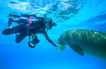 Wild Dugong (Dugong dugong) taking sea grass from snorkeler. Kota Kinabalu, Sabah, Malaysia.
