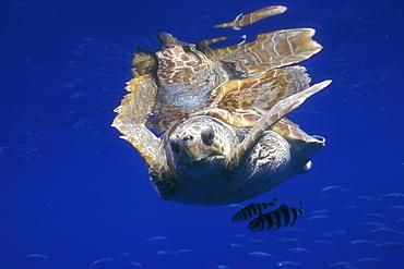 Loggerhead Turtle (Caretta caretta) and Pilot Fish (Naucrates ductor). Azores, Portugal, Atlantic