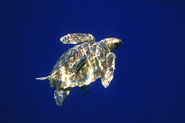 Loggerhead Turtle (Caretta caretta) sub-adult. Azores, Portugal Atlantic