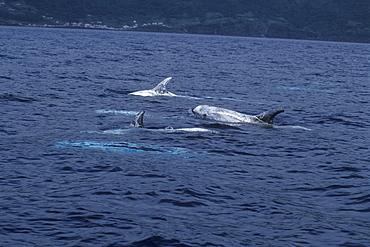 Risso's Dolphins, Grampus griseus, adults. Azores, Portugal, Atlantic