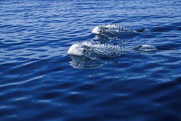 Risso's Dolphins (Grampus griseus) adults, porpoising, surfacing. Azores, Portugal, Atlantic
