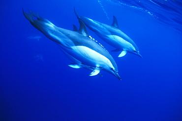 Short-beaked Common Dolphins (Delphinus delphis). Azores, Portugal.  Atlantic Ocean.