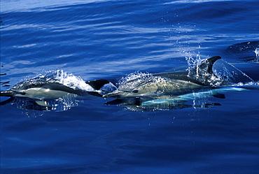 Short-beaked Common Dolphins (Delphinus delphis) surfacing, porpoising. Azores, Portugal, Atlantic