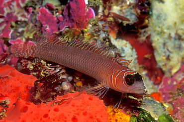 Spectacled Triple-fin (Obliquichthys maryannae). Poor Knights Island, New Zealand.   (rr)