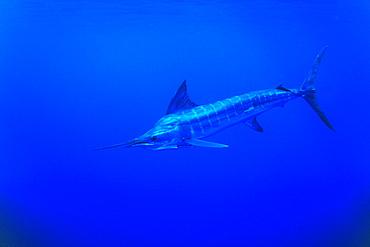 Striped Marlin, Tetrapturus audux. North Island, Three Kings, New Zealand.   (rr)