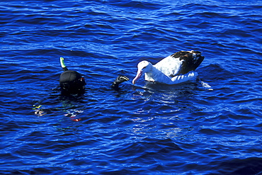 Wandering Albatross (Diomedea exulans)  and Snorkeler. North Island, Three Kings, New Zealand.   (rr)