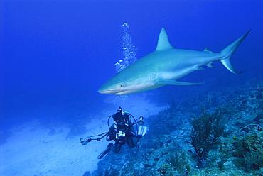Caribbean Reef Shark & diver. Bahamas, Atlantic Ocean