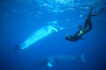Dwarf Minke Whales & snorkeler. Coral Sea, Australia