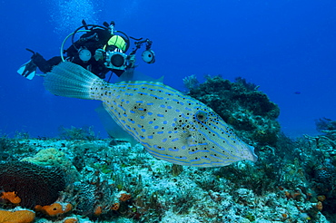 Scribbled Filefish & diver Mexico