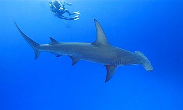 Great Hammerhead Shark & diver. Bahamas, Atlantic Ocean