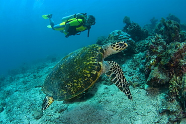 Hawksbill Turtle & diver. Kapalai Island, Malaysia