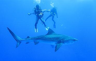 Tiger Shark (juvenile) & divers. Bahamas, Atlantic Ocean