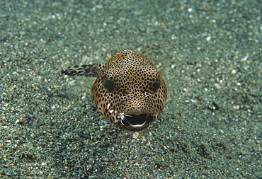 Starry Toadfish; cleaner shrimp on mouth (Arothon stellatus). Indo Pacific